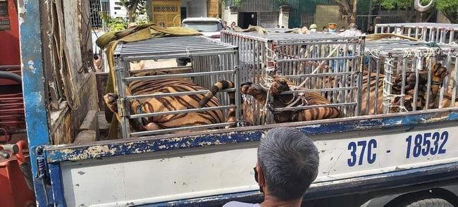 NÓNG: Phát hiện 16 con hổ trưởng thành được nuôi nhốt trong khu dân cư-1