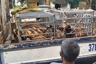 NÓNG: Phát hiện 16 con hổ trưởng thành được nuôi nhốt trong khu dân cư
