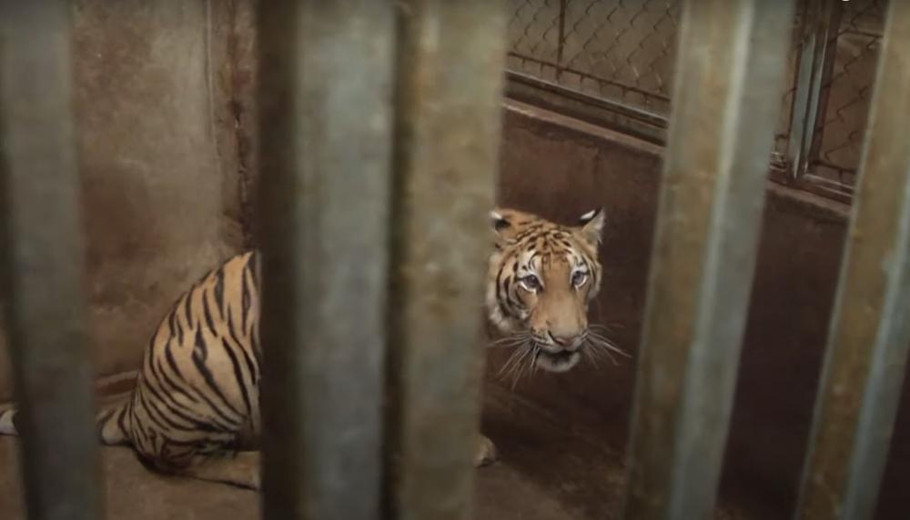 Vụ nuôi nhốt 17 con hổ trong nhà như nuôi heo: Chủ nhà xây tầng hầm rộng cả trăm mét để tránh bị phát hiện-4