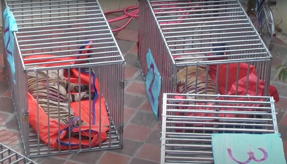 Vụ nuôi nhốt 17 con hổ trong nhà như nuôi heo: Chủ nhà xây tầng hầm rộng cả trăm mét để tránh bị phát hiện-7