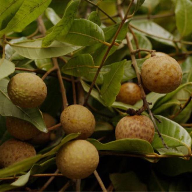 Thăm khu vườn đầy ắp cây trái ở ngoại ô của NS Giang Còi, gần 1 tháng trước khi mất lão nông vẫn say sưa trồng chanh-8