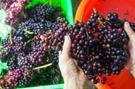 Loại nho mọc hoang ở bìa rừng Tây Bắc, ăn thì chua loét, giá chẳng kém cạnh nho nhập ngoại mà vẫn hút khách Hà thành