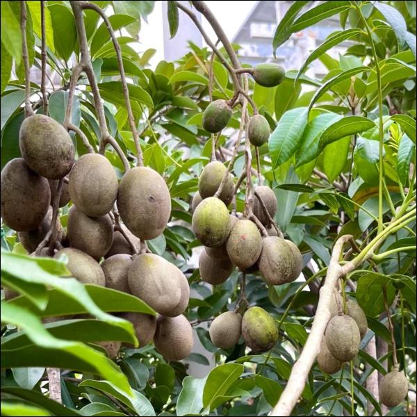 Khu vườn trongbiệt thự 21 tỷ của MCQuyềnLinh mùa dịch gìcũng có: Rau xanh, hoa tươi, trái cây đều xum xuê-10