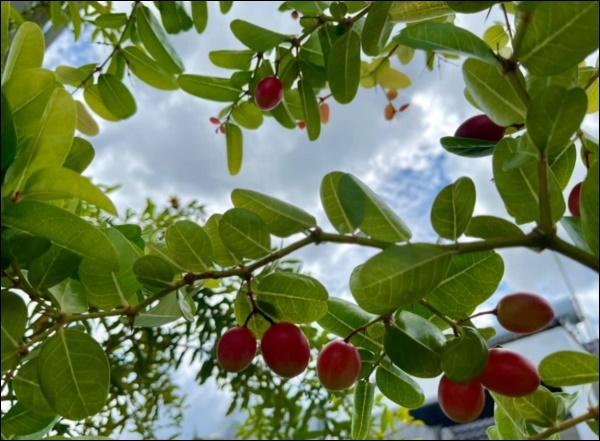 Khu vườn trongbiệt thự 21 tỷ của MCQuyềnLinh mùa dịch gìcũng có: Rau xanh, hoa tươi, trái cây đều xum xuê-12