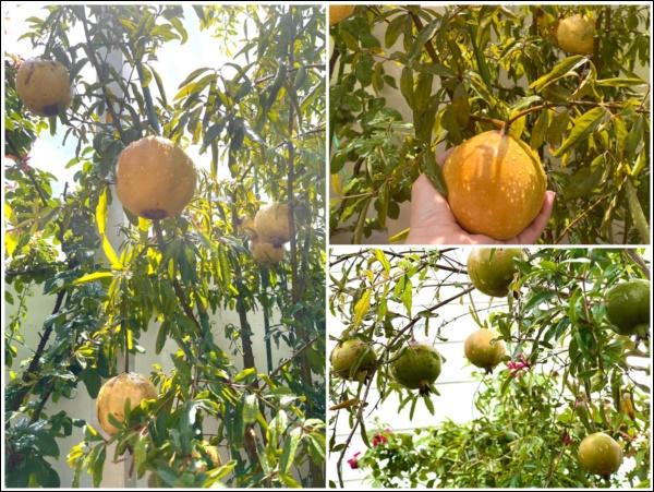 Khu vườn trongbiệt thự 21 tỷ của MCQuyềnLinh mùa dịch gìcũng có: Rau xanh, hoa tươi, trái cây đều xum xuê-9