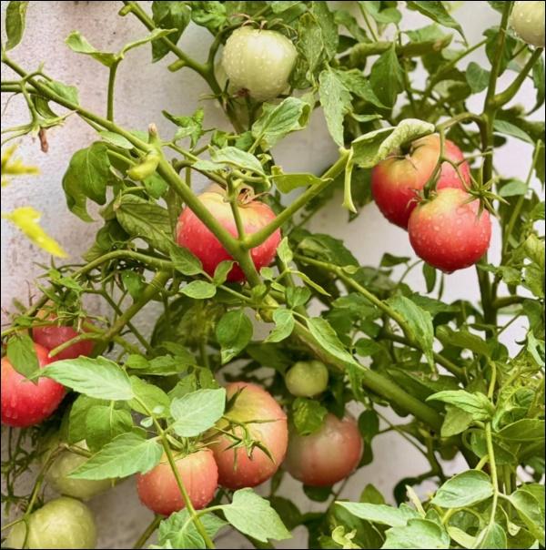 Khu vườn trongbiệt thự 21 tỷ của MCQuyềnLinh mùa dịch gìcũng có: Rau xanh, hoa tươi, trái cây đều xum xuê-3