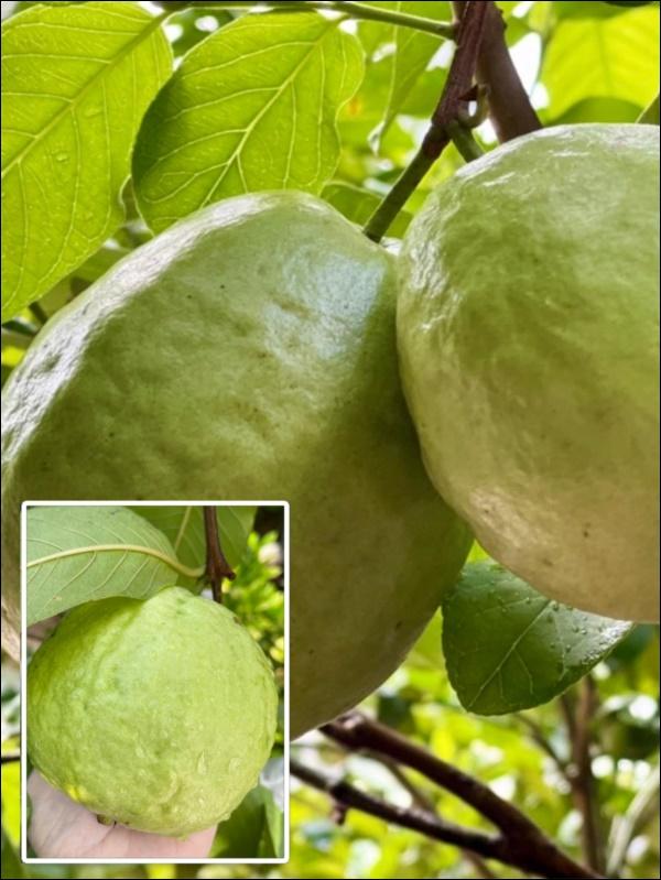 Khu vườn trongbiệt thự 21 tỷ của MCQuyềnLinh mùa dịch gìcũng có: Rau xanh, hoa tươi, trái cây đều xum xuê-5