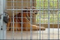 Vụ cứu 17 con hổ: Phí chăm sóc 20 triệu đồng/ngày, chưa có đơn vị nhận nuôi