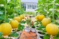 Khu vườn bạt ngàn các loại dưa và nho trên sân thượng 50m² của mẹ đảm Sài Gòn
