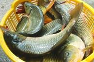 Khi đi chợ, bắt gặp ba loại cá này thì đừng nên mua, đến người bán cũng chưa chắc dám ăn
