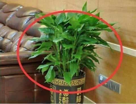 Không nên đặt những loại cây này trong nhà, bởi không tốt về mặt phong thủy!-5