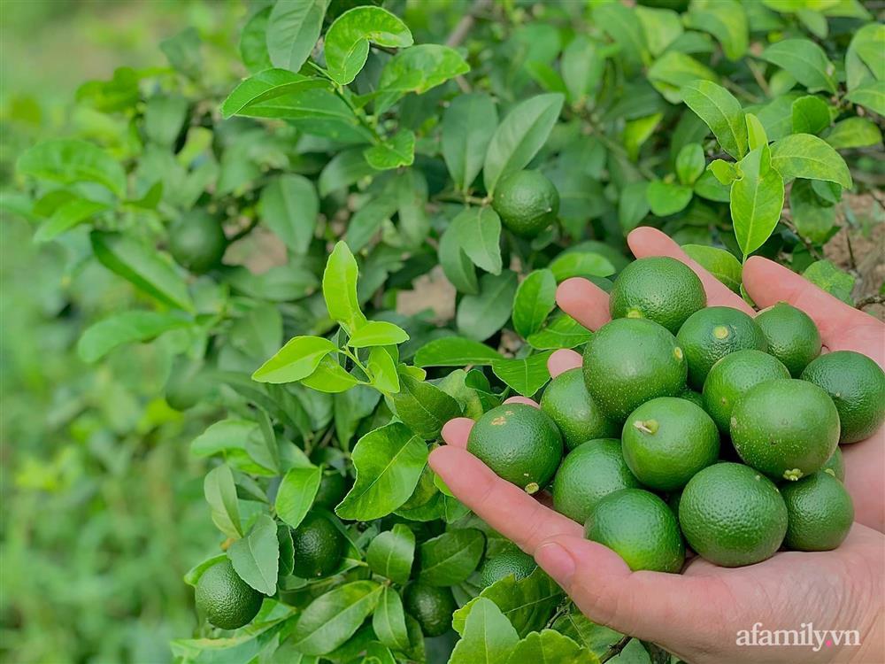 Khu vườn 200m² phủ kín rau xanh, quả sạch không khác gì nông trại của mẹ đảm Quảng Ninh-13
