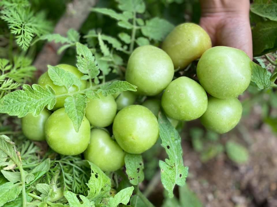 Khu vườn 200m² phủ kín rau xanh, quả sạch không khác gì nông trại của mẹ đảm Quảng Ninh-21