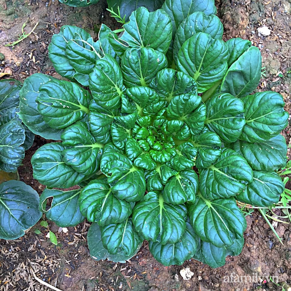 Khu vườn 200m² phủ kín rau xanh, quả sạch không khác gì nông trại của mẹ đảm Quảng Ninh-22
