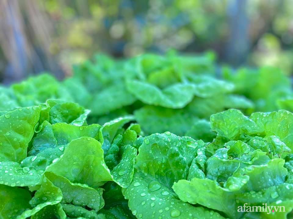 Khu vườn 200m² phủ kín rau xanh, quả sạch không khác gì nông trại của mẹ đảm Quảng Ninh-24