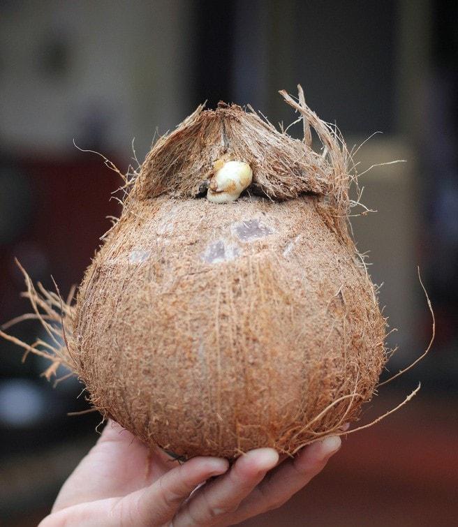 Dừa tươi duy trì mức bán cao trên chợ mạng, mỗi quả giá 25.000 đồng được chốt đơn ầm ầm-8