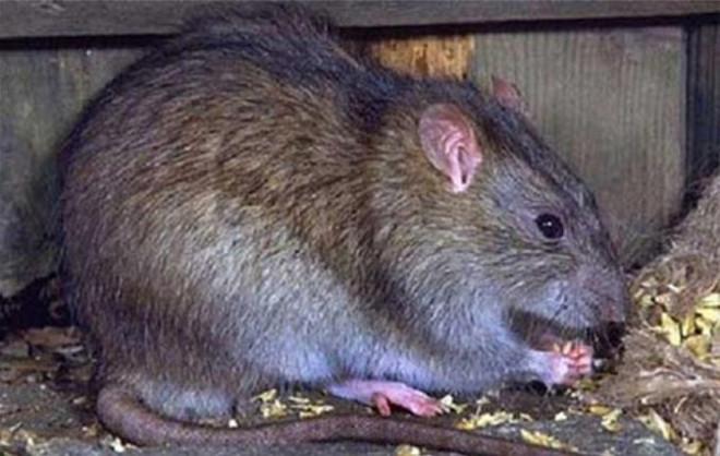 Rùng mình với đặc sản tăng cường sinh lực mà dân Việt phát kiến được làm từ bộ phận nhạy cảm của con chuột-2