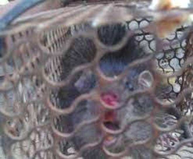 Rùng mình với đặc sản tăng cường sinh lực mà dân Việt phát kiến được làm từ bộ phận nhạy cảm của con chuột-7