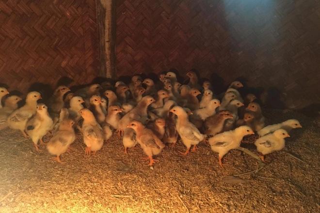 8X người Mường bỏ nghề giáo về quê hốt bạc từ nuôi gà 9 cựa-4