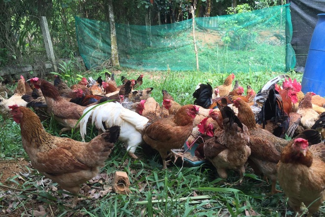 8X người Mường bỏ nghề giáo về quê hốt bạc từ nuôi gà 9 cựa-5