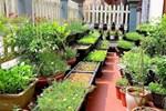 Vườn rau chỉ trồng có 1 tháng mà đã tốt tươi xanh um đến khó tin của cô gái trẻ ở Phú Thọ