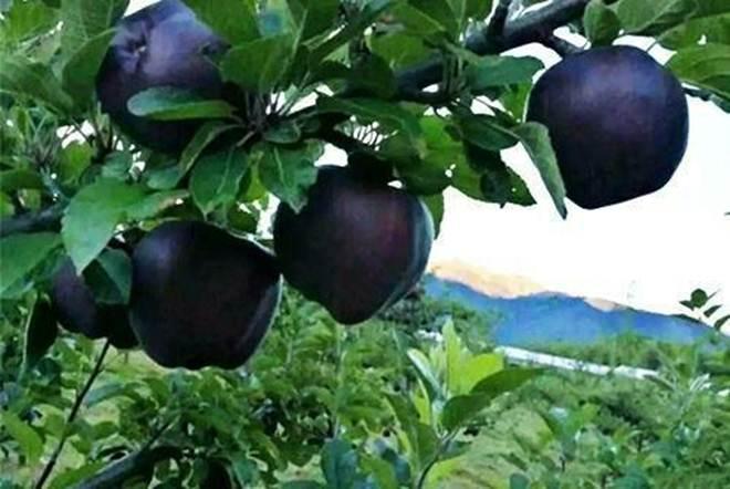 Quả táo đen giòn ngọt gấp nhiều lần so với táo thông thường, bạn đã thử chưa?-2