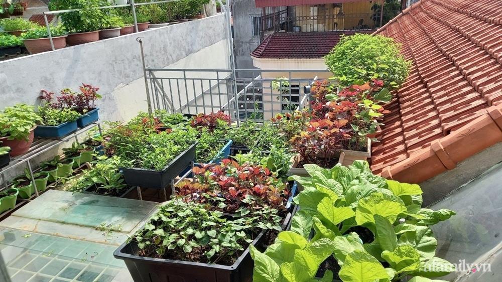 Khoảng sân thượng chỉ 15m² nhưng đủ các loại rau xanh tốt tươi không lo thiếu thực phẩm mùa dịch ở Hà Nội-1