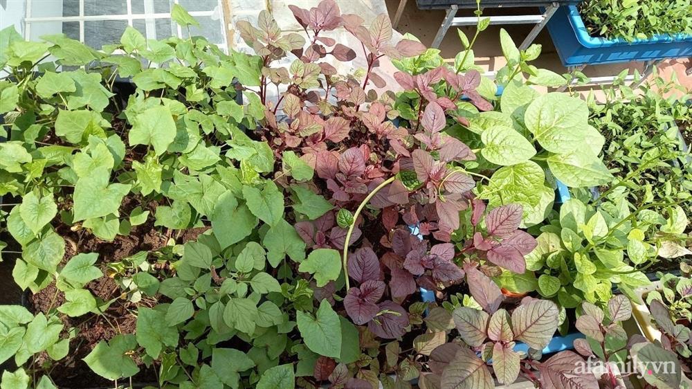 Khoảng sân thượng chỉ 15m² nhưng đủ các loại rau xanh tốt tươi không lo thiếu thực phẩm mùa dịch ở Hà Nội-2