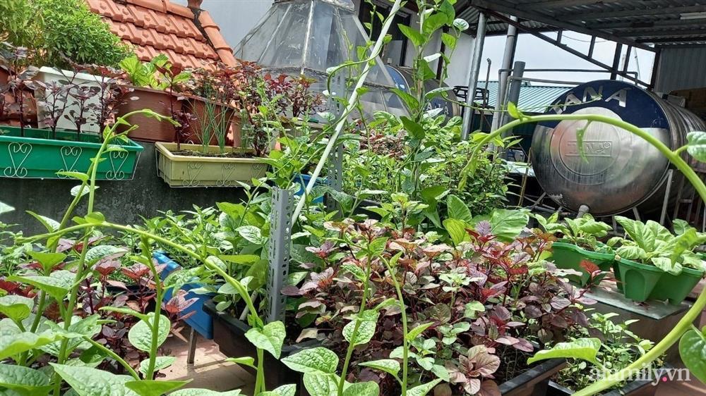 Khoảng sân thượng chỉ 15m² nhưng đủ các loại rau xanh tốt tươi không lo thiếu thực phẩm mùa dịch ở Hà Nội-3