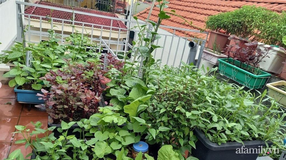 Khoảng sân thượng chỉ 15m² nhưng đủ các loại rau xanh tốt tươi không lo thiếu thực phẩm mùa dịch ở Hà Nội-4