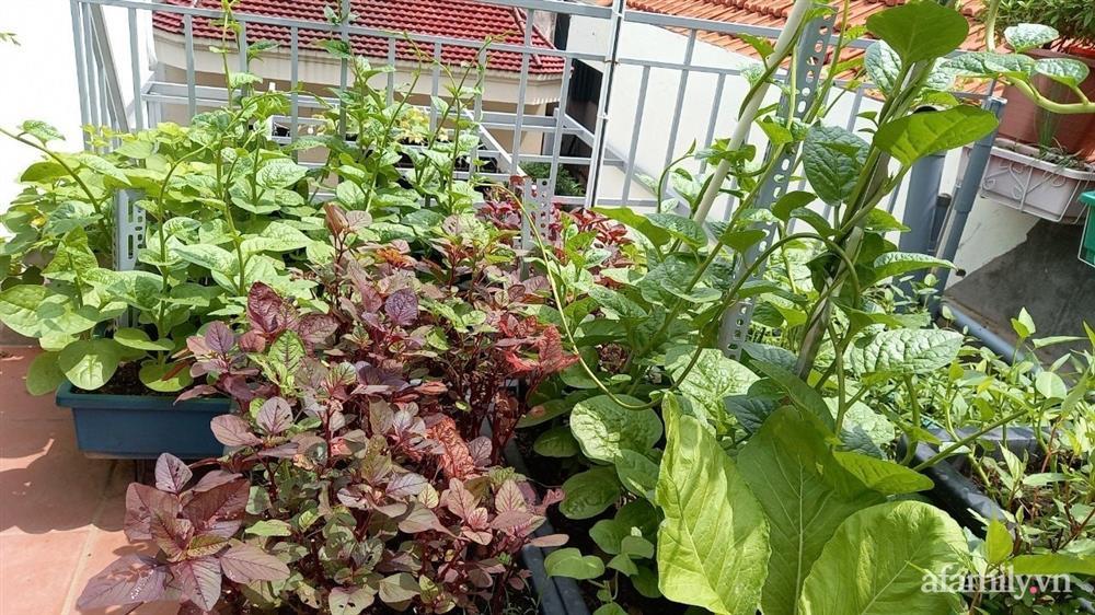 Khoảng sân thượng chỉ 15m² nhưng đủ các loại rau xanh tốt tươi không lo thiếu thực phẩm mùa dịch ở Hà Nội-10