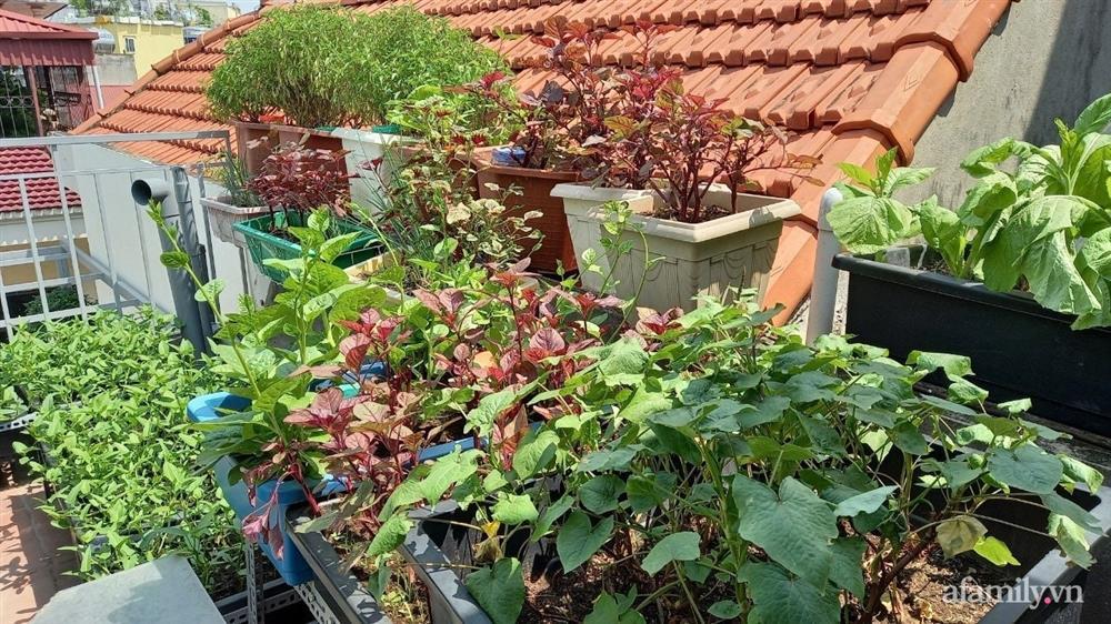 Khoảng sân thượng chỉ 15m² nhưng đủ các loại rau xanh tốt tươi không lo thiếu thực phẩm mùa dịch ở Hà Nội-6