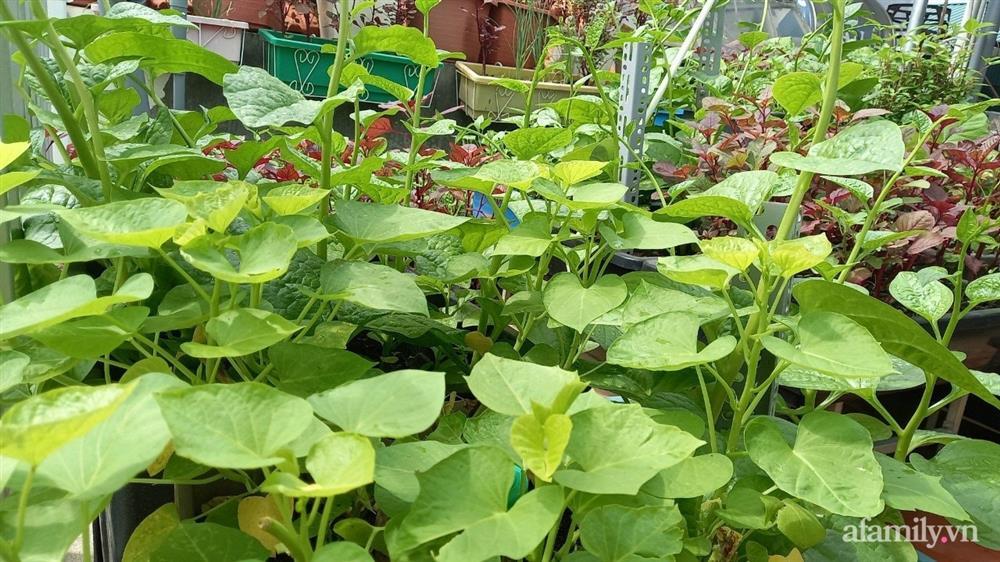 Khoảng sân thượng chỉ 15m² nhưng đủ các loại rau xanh tốt tươi không lo thiếu thực phẩm mùa dịch ở Hà Nội-7