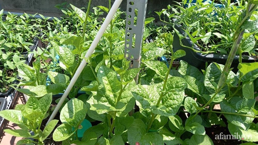 Khoảng sân thượng chỉ 15m² nhưng đủ các loại rau xanh tốt tươi không lo thiếu thực phẩm mùa dịch ở Hà Nội-8