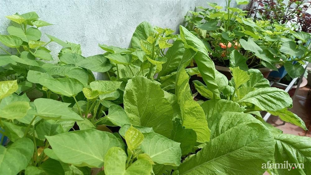 Khoảng sân thượng chỉ 15m² nhưng đủ các loại rau xanh tốt tươi không lo thiếu thực phẩm mùa dịch ở Hà Nội-11