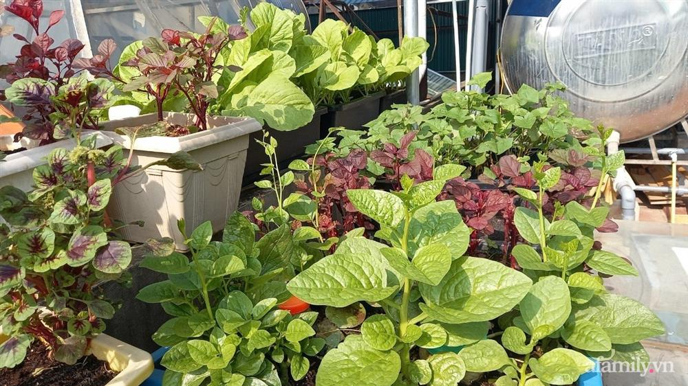 Khoảng sân thượng chỉ 15m² nhưng đủ các loại rau xanh tốt tươi không lo thiếu thực phẩm mùa dịch ở Hà Nội-12