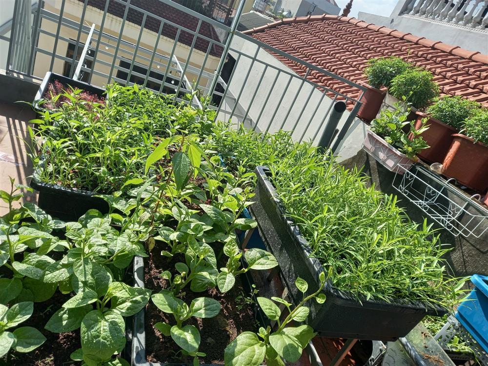 Khoảng sân thượng chỉ 15m² nhưng đủ các loại rau xanh tốt tươi không lo thiếu thực phẩm mùa dịch ở Hà Nội-18