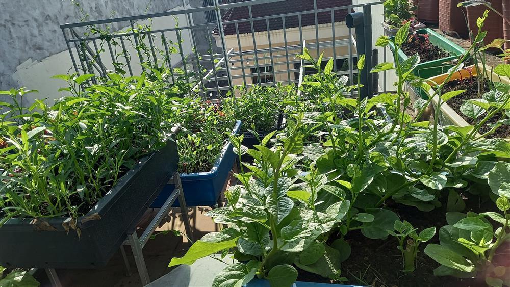 Khoảng sân thượng chỉ 15m² nhưng đủ các loại rau xanh tốt tươi không lo thiếu thực phẩm mùa dịch ở Hà Nội-22