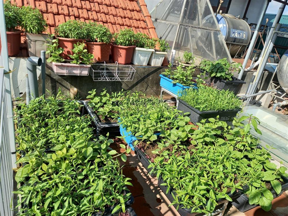 Khoảng sân thượng chỉ 15m² nhưng đủ các loại rau xanh tốt tươi không lo thiếu thực phẩm mùa dịch ở Hà Nội-23