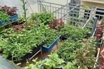 Khoảng sân thượng chỉ 15m² nhưng đủ các loại rau xanh tốt tươi không lo thiếu thực phẩm mùa dịch ở Hà Nội