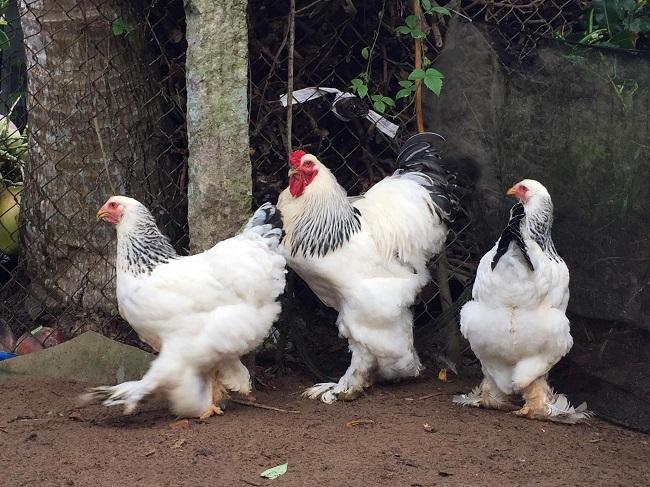 """Bất ngờ loại gà siêu to khổng lồ"""" được nuôi để làm cảnh, giá hàng chục triệu đồng/con-1"""