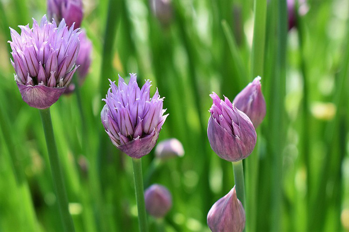 Để giảm stress và thêm yêu đời thì đừng bỏ qua việc trồng 4 loài hoa này trong nhà-3