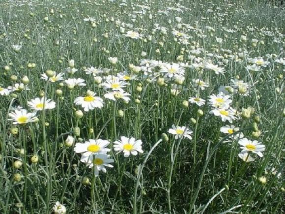 4 loại hoa đẹp đuổi muỗi kỳ cựu, trồng một chậu ngoài ban công, muỗi không dám bén mảng-6