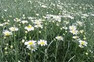 4 loại 'hoa đẹp' đuổi muỗi 'kỳ cựu', trồng một chậu ngoài ban công, muỗi không dám bén mảng
