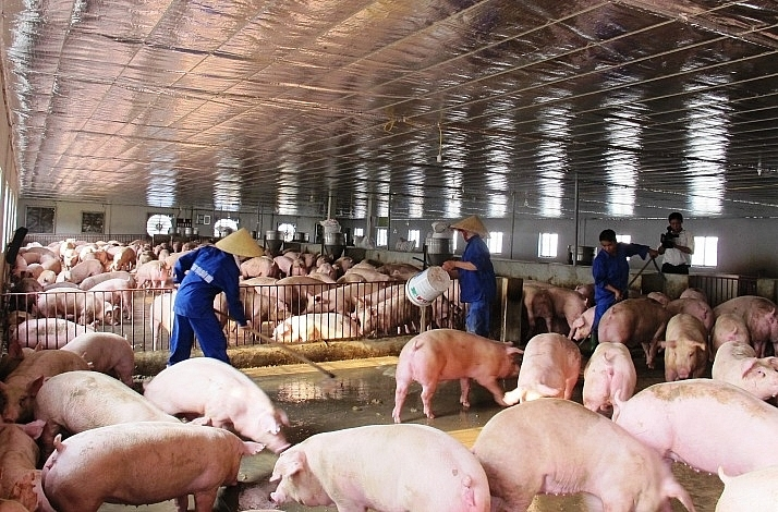 Giá thịt lợn lao dốc, chủ trại nuôi kêu trời vì lỗ tiền tỷ-1