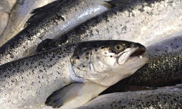 5 loại cá này chính là ổ chứa formaldehyde và kim loại nặng, dù giá rẻ bạn cũng không nên mua về ăn-1