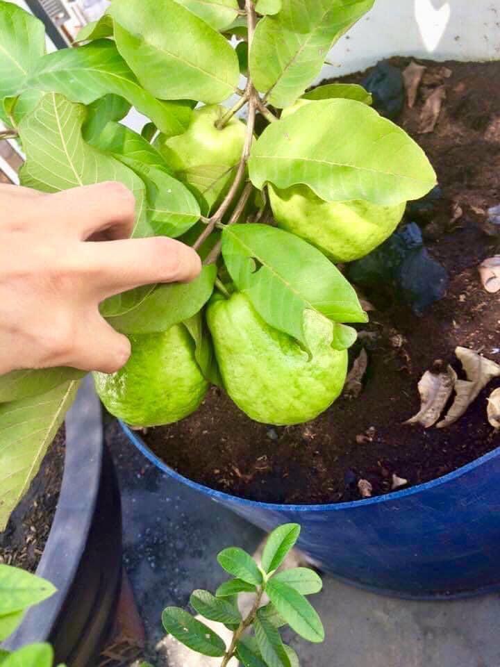 Trầm trồ khu vườn trên sân thượng, trĩu trịt cây trái của cặp vợ chồng Sài Gòn-5