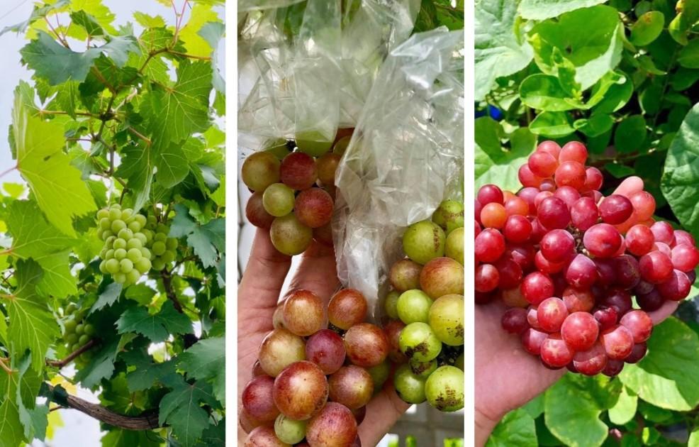 Trầm trồ khu vườn trên sân thượng, trĩu trịt cây trái của cặp vợ chồng Sài Gòn-2