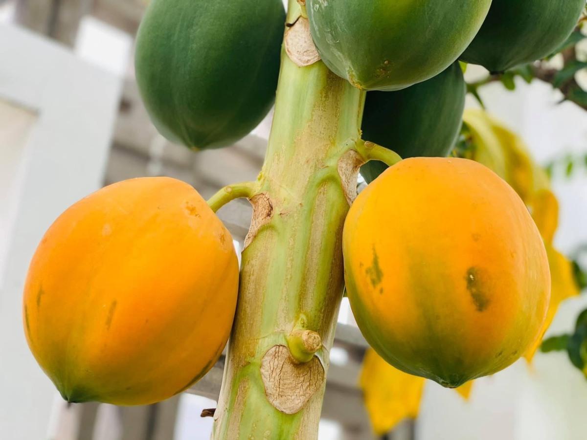 Trầm trồ khu vườn trên sân thượng, trĩu trịt cây trái của cặp vợ chồng Sài Gòn-7