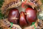 Khi mua hạt dẻ nên chọn hạt 'tròn' hay 'dẹt'? Mách bạn cách bảo quản hạt dẻ, để cả năm vẫn tươi và không bị hôi